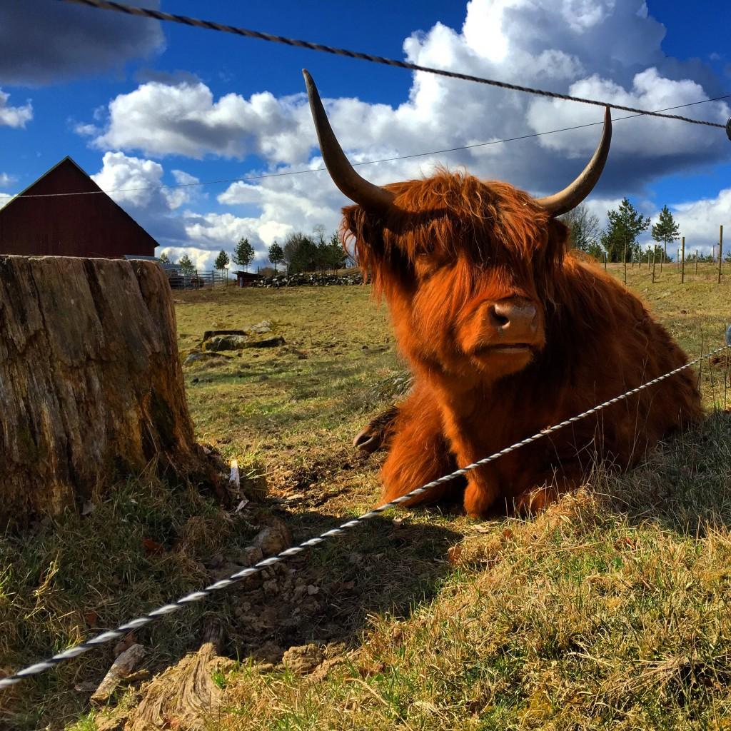 Hårig vilande ko i Småland